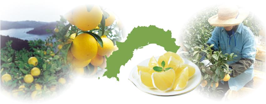 土佐の美味しい果物イメージ